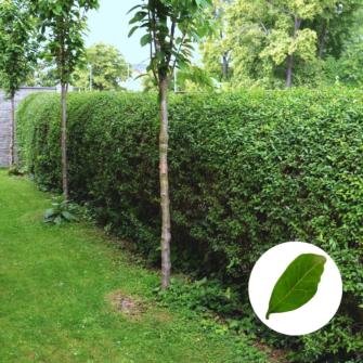Hecken Helge - Liguster Ovalfolium kaufen