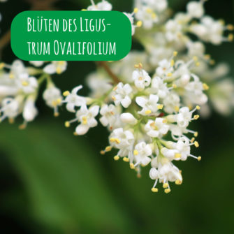 Blüten des Ligustrum Ovalifolium