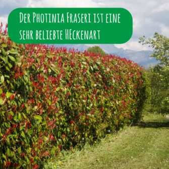 photinia-x-fraseri-hecke-red-robin_1x1