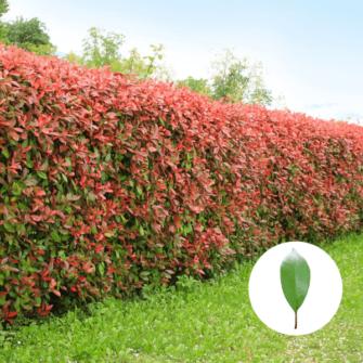 Rote Glanzmispel (Red Robin) Hecke - Photinia Fraseri