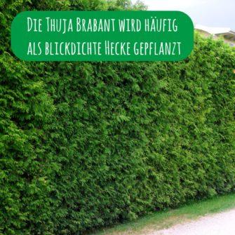 Die Thuja Brabant wird häufig als blickdichte Hecke gepflanzt
